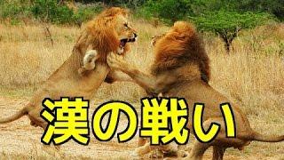 【野生動物の戦い】ライオンVSライオン 縄張りと雄のプライドを賭けた衝...
