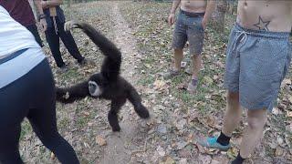 Gibbon Stealing Our Bananas!  Susa Waterfall Mae Hong Son, Thailand.