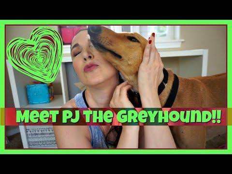 RETIRED RACER!: Meet PJ the Greyhound!!!