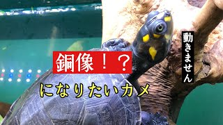 銅像になりたい「モンキヨコクビガメ」
