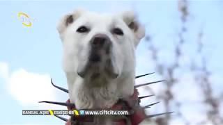 Akbaşların Bilinmeyen Yönleri - Kangal Aşkı / Çiftçi TV