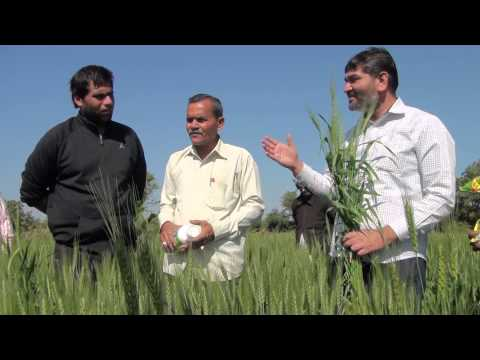 Organic Wheat with Plantonics | Organic fertilizer for high Yield | Gujarat Bio