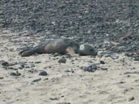 Oregon Harbor Seal pup