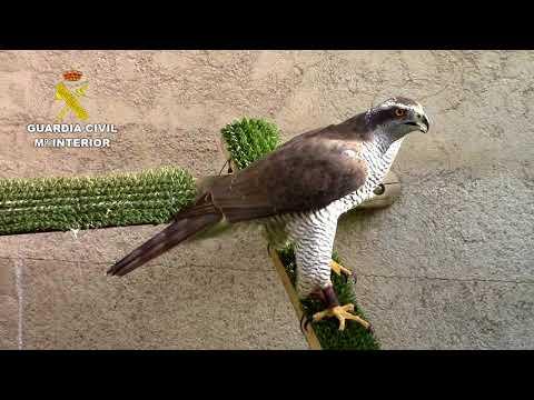 Expolio de aves rapaces en Baleares
