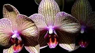 Изменения с орхидеями после полива чесноком 2(Всем здравствуйте,сегодня я покажу изменения с орхидеями ,которые произошли после очередного полива чесно..., 2016-06-06T04:44:43.000Z)