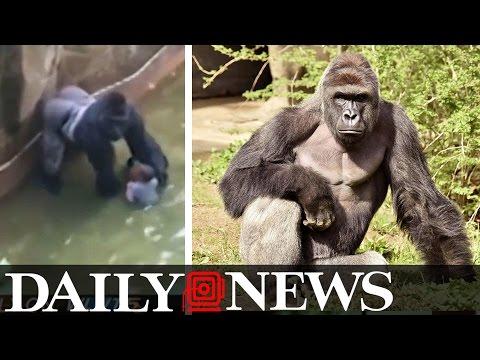 Cincinnati Zoo Blame Game Begins For 'Harambe' The Gorilla