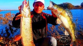 Рыбалка на Ахтубе Удачная рыбалка на хищника, но не у меня)) Ловля щуки и судака в Астрахани