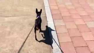 ミニチュアピンシャー、5歳2.6キロ お散歩大好きです!いっぱい歩きます...