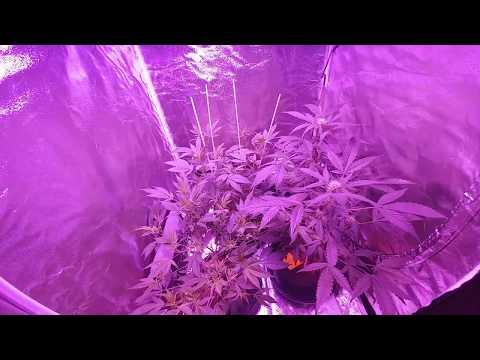 Legal Medicinal Medical Cannabis Marijuana Grow