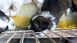 珍犬チベタン、テリア の可愛い仔犬 生後 45日目.