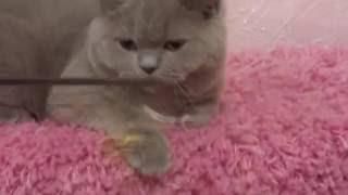Британский короткошерстный котенок на продажу