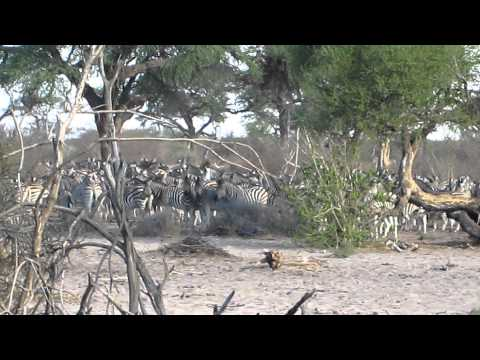 Surrounded by zebras, Makgadikgadi Pans National Park, Botswana - October 10, 2011