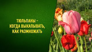 Тюльпаны   когда выкапывать, как размножать