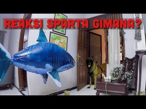 PRANK BALON HIU KE SPARTA! | SPARTA THE BELGIAN MALINOIS