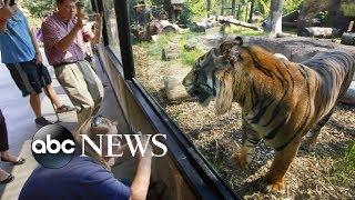 Baixar Sanjiv the tiger attacks zookeeper