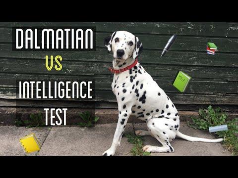 Dalmatian Vs Dog Intelligence Test