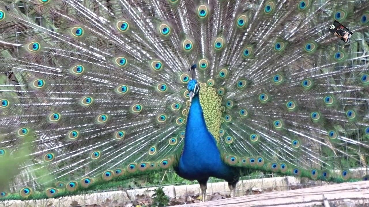 le paon bleu et le paon blanc face a face zoo d upie 26