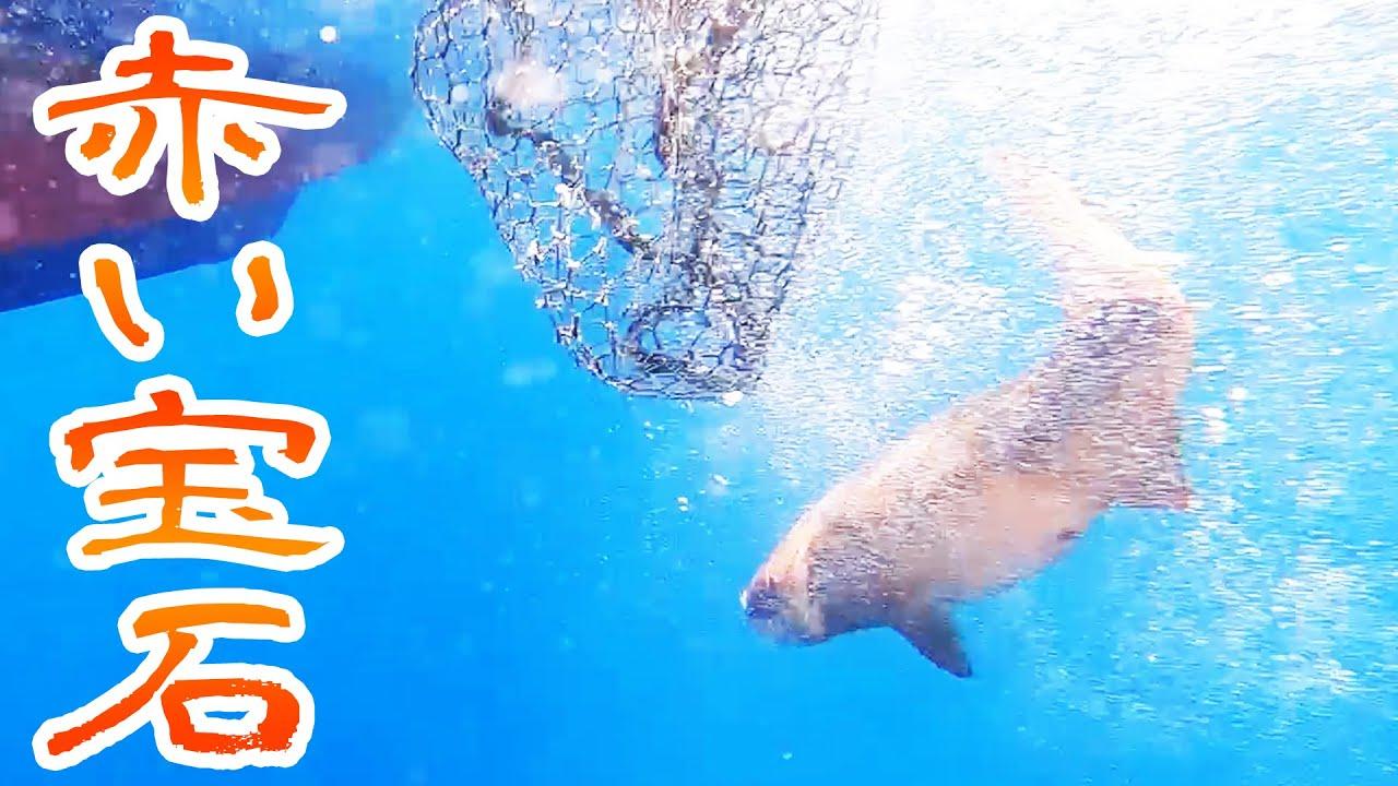 【水中映像】赤い宝石を釣りました【もりもりさんに大漁旗をプレゼント 後編】