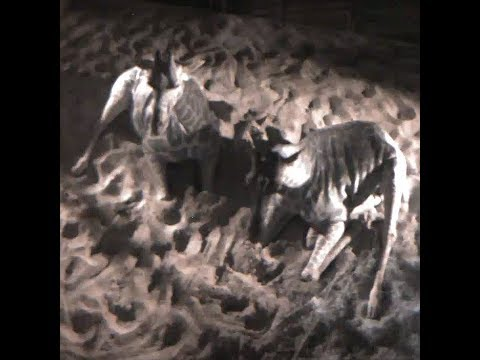 Cheyenne Mountain Zoo Giraffe 'Birth Cam'