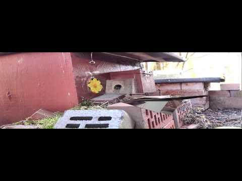 Baumhummel - Bombus hypnorum - Ab- und Anflug am Nistkasten