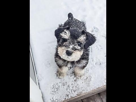 Miniature Schnazuer Puppy is So Smart - Chase's Graduation Video