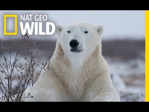 Wild Polar Bear - Predator of Arctic Ocean | Ice Bears (2018