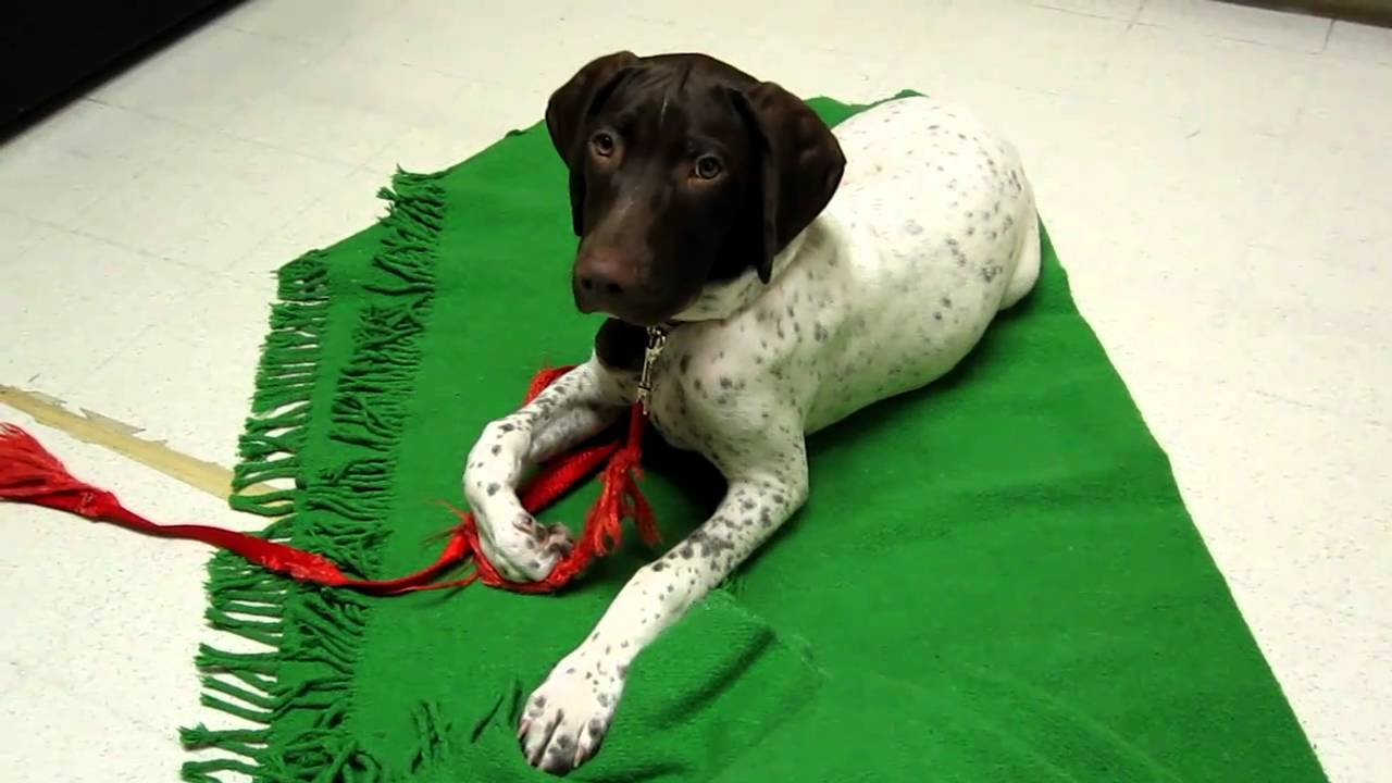 German Shorthaired Pointer Puppy Obedience Training At 4