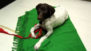 German Shorthaired Pointer Puppy Obedience Training At 4 Months