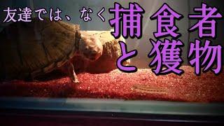 本日は、亀と魚の混泳によるリスクと現実について動画を投稿いたしました。 これから亀と魚の混泳を考えてる方へ参考にしていただければ幸いです。 よろしくお願い致します ...