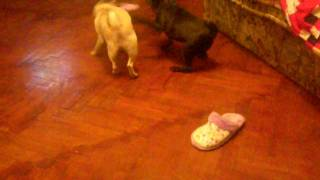 Pug Slipper Party