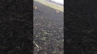 Русская гончая Урок молодым собачкам.