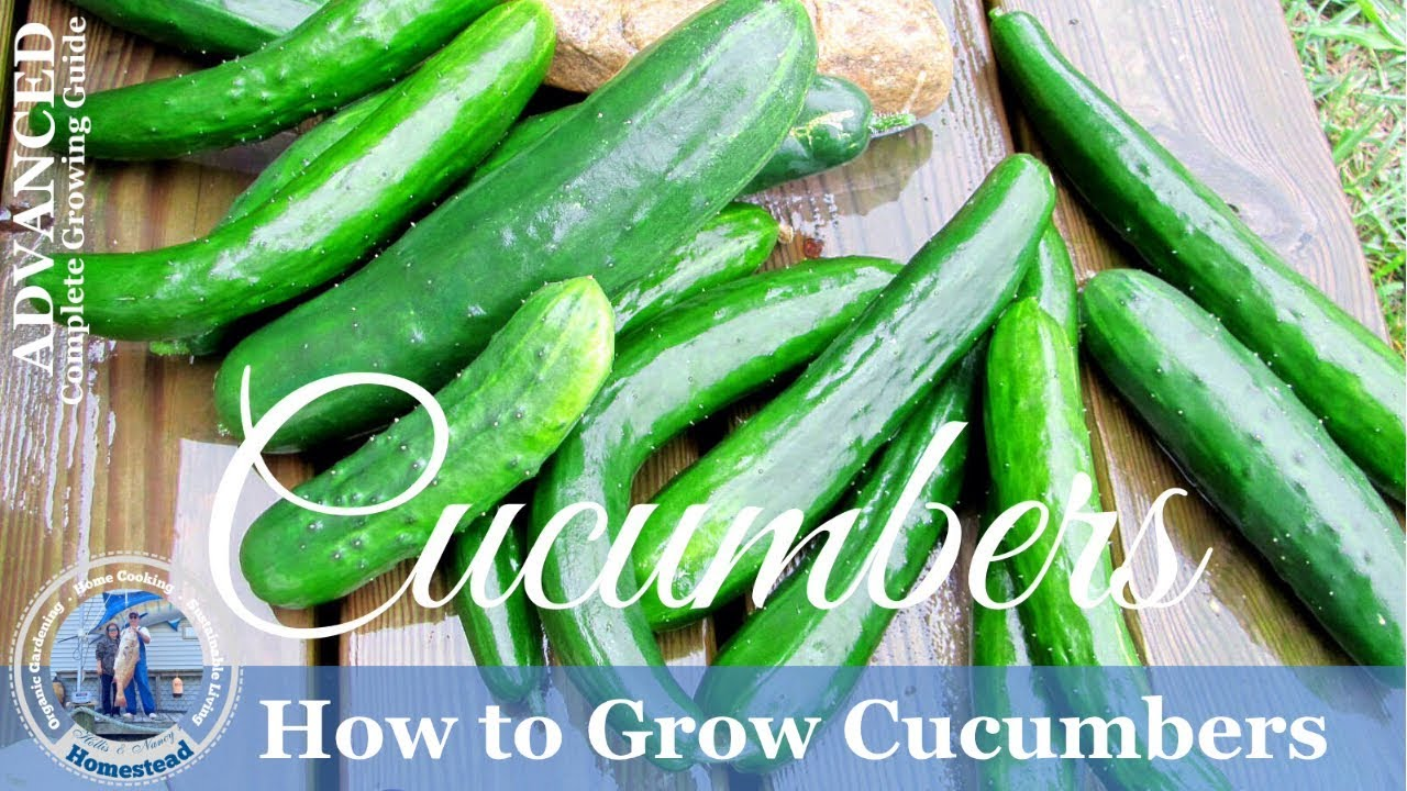 How To Grow Cucumbers Vertically On A Trellis Youtube