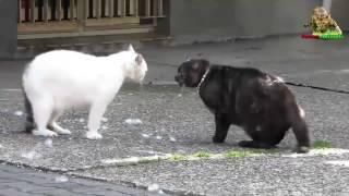 Кошачьи бои  Кошки vs собаки  Кошки злятся  #fanimals