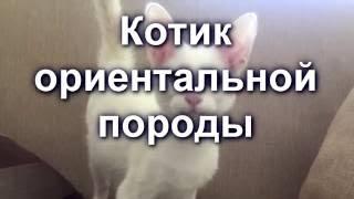 Белый котик ориентальной породы | Kitten Oriental
