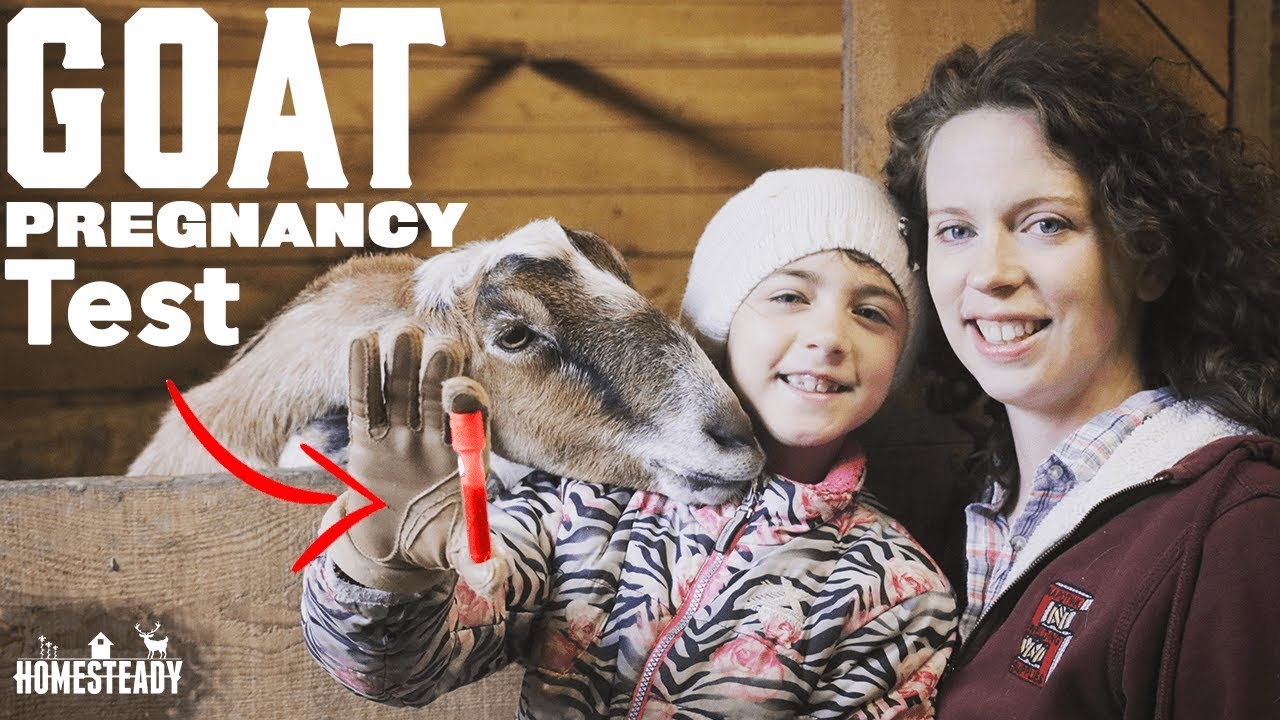 How To Tell If Your Goat is Pregnant? Do a Goat Pregnancy ...