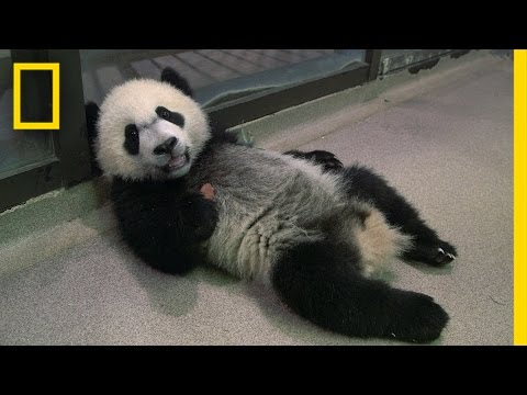 Panda School: (EXCLUSIVE) How the National Zoo Trains Its Panda Cub