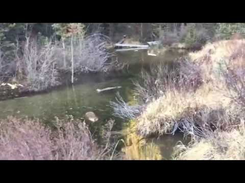 Beaver Hunting with a .22lr