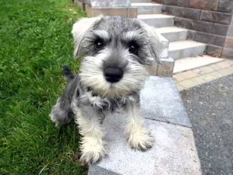Cute Pictures Of Dog Terrier Miniature Schnauzer