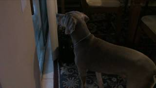 My Weimaraner Taught My Cat How To Bark!!