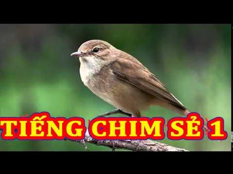 Tiếng chim sẻ(trích) Kêu full 1