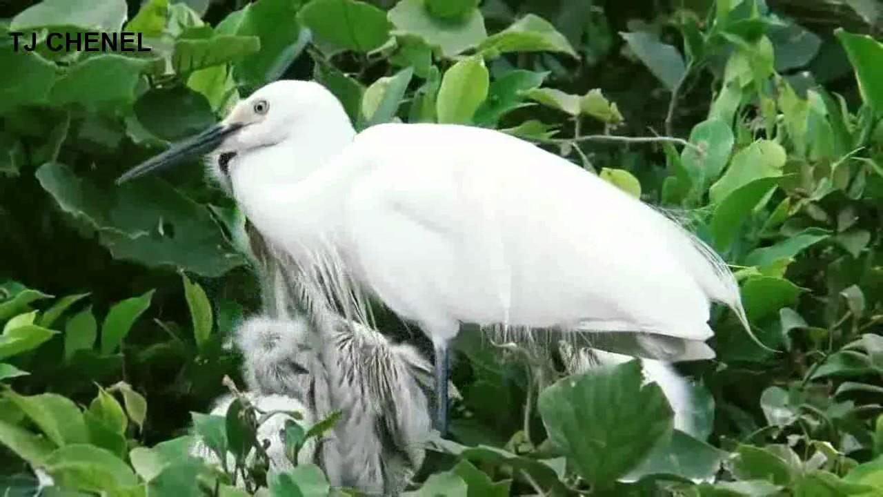 Cantiknya Burung Bangau Dan Anak Anaknya Di Atas Pohon Youtube