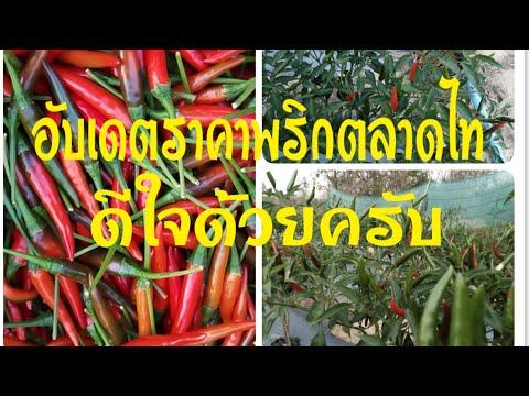 #ปลูกพริก|ราคาพริกแดงวันนี้|ราคาขายออกตลาดไทปรับขึ้น