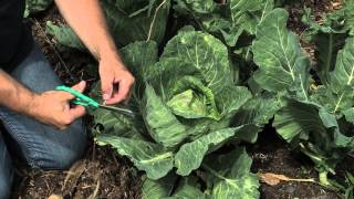 How to Tie Up Cabbage Heads in the Garden : Cabbage Gardening