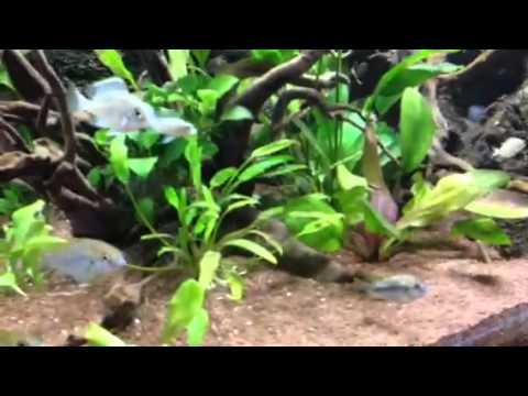 Acquario ciclidi africani malawi aquaproject andria youtube for Ciclidi africani