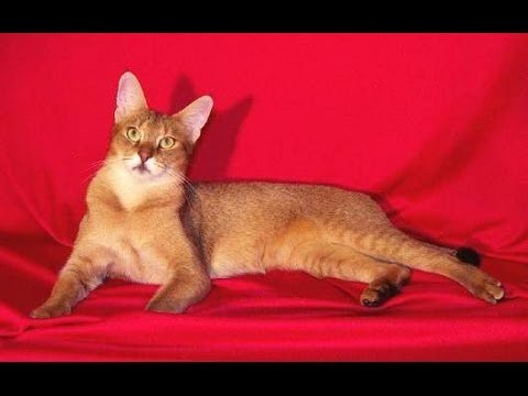 Animal Planet  :  Cats 101 ~ Chausie