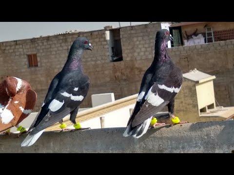 Full Download] Pigeon Market Lalukhet Karachi Gola Qabli Patti Wale