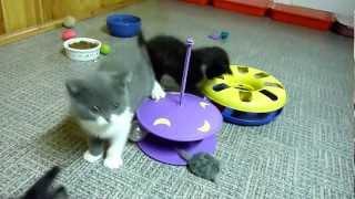 Британские  котята, окрас биколор.Котятам 2 месяца