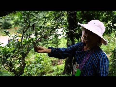 3 Organic Teas from Ancient Tea Garden