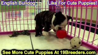 English Bulldog, Puppies, For, Sale, In, Wichita, Kansas, Ks, Pittsburg, Hays, Liberal, Prairie Vill