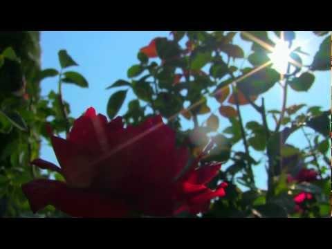 The Julia Davis Rose Garden